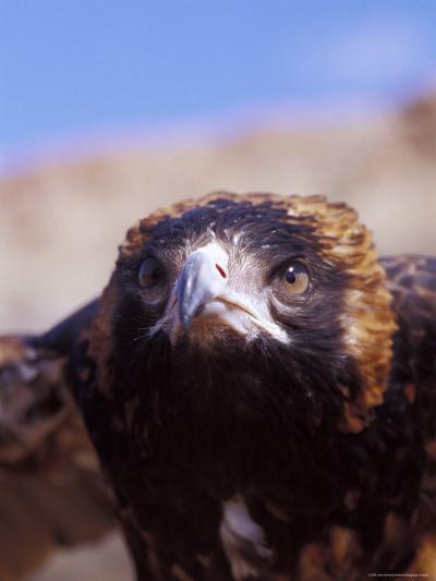 The Intense Glare of a Black Breasted Buzzard, Australia-Jason Edwards-Photographic Print