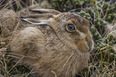 https://imgc.artprintimages.com/img/print/the-introduced-and-very-invasive-european-rabbit-oryctolagus-cuniculus-falkland-islands_u-l-q12sqiv0.jpg?p=0