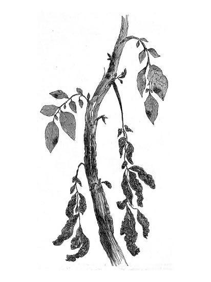 The Irish Potato Famine. View of Diseased Potato Stem--Giclee Print