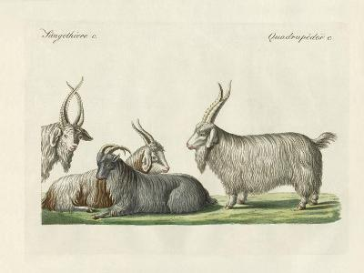 The Kashmir Goats Introduced in France--Giclee Print