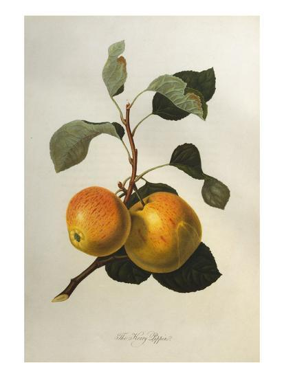 The Kerry Pippin, from 'Pomona Londinensis'-William Hooker-Giclee Print