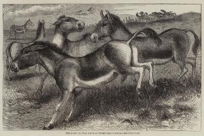 The Kiang, or Wild Horse of Thibet, Equus Kiang--Giclee Print