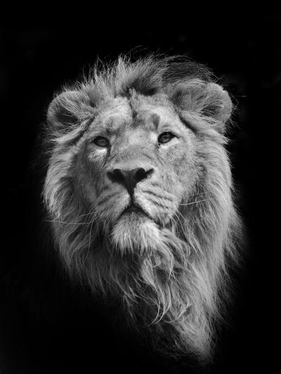 The King (Asiatic Lion)-Stephen Bridson Photography-Premium Photographic Print