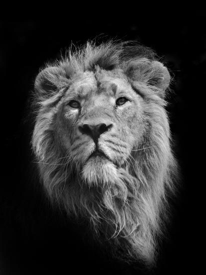 The King (Asiatic Lion)-Stephen Bridson Photography-Photographic Print
