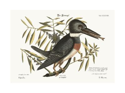 The Kingfisher, 1749-73-Mark Catesby-Giclee Print