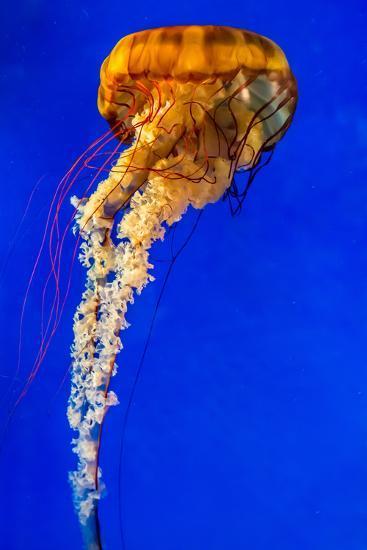The Large, Beautiful, Orange Pacific Sea Nettle Jellyfish.-Richard McMillin-Photographic Print