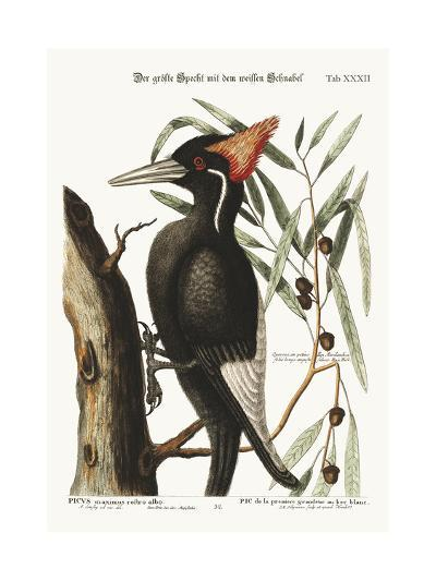 The Largest White-Bill Woodpecker, 1749-73-Mark Catesby-Giclee Print
