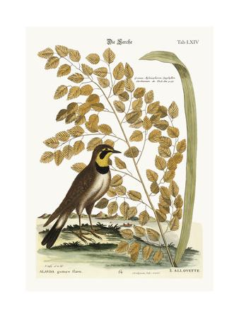 The Lark, 1749-73-Mark Catesby-Giclee Print