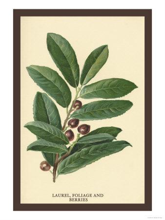 https://imgc.artprintimages.com/img/print/the-laruel-foliage-and-berries_u-l-p27v6v0.jpg?p=0