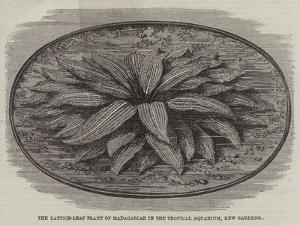 The Lattice-Leaf Plant of Madagascar in the Tropical Aquarium, Kew Gardens