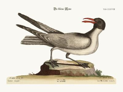 The Laughing Gull, 1749-73-Mark Catesby-Giclee Print