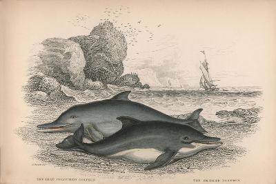 The Lead Coloured Dolphin and the Bridled Dolphin-Robert Hamilton-Giclee Print