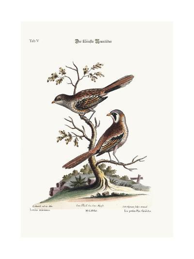 The Least Butcher-Bird, 1749-73-George Edwards-Giclee Print