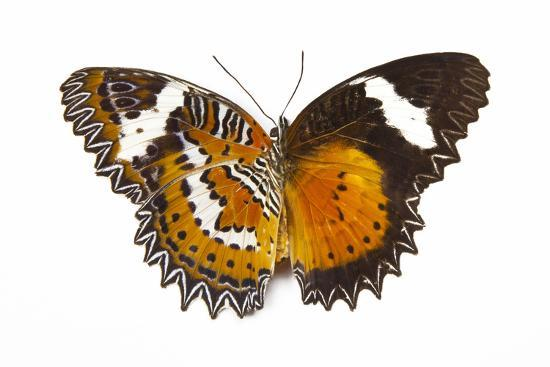 The Leopard Lacewing Butterfly, Comparing the Top and Bottom Wings-Darrell Gulin-Photographic Print