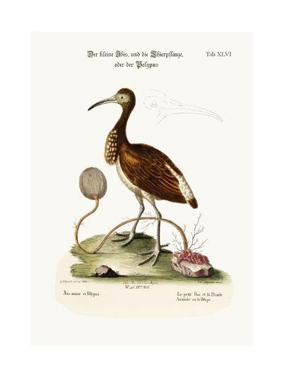 The Lesser Ibis, and the Animal-Plant or Polype, 1749-73-George Edwards-Giclee Print