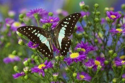The Lesser Jay Butterfly, Graphium Evemon Orthia-Darrell Gulin-Photographic Print
