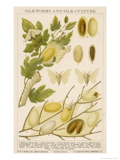 The Life Cycle of a Silk Worm and Silk Culture-A. Reichert-Giclee Print