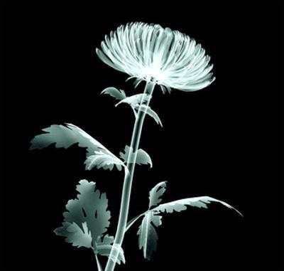 X-Ray Image Flower Isolated on Black , the Pompon Chrysanthemum