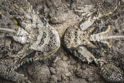 The Lines And Shapes Of A Pair Of Horned Lizards On The Hoffman Ranch In Alice Texas-Jay Goodrich-Photographic Print