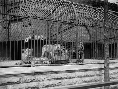 The Lions and Tigers in Lincoln Park, Chicago, C.1901--Photographic Print