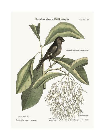 The Little Black Bullfinch, 1749-73-Mark Catesby-Giclee Print