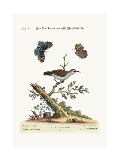 The Little Brown and White Creeper, 1749-73-George Edwards-Giclee Print
