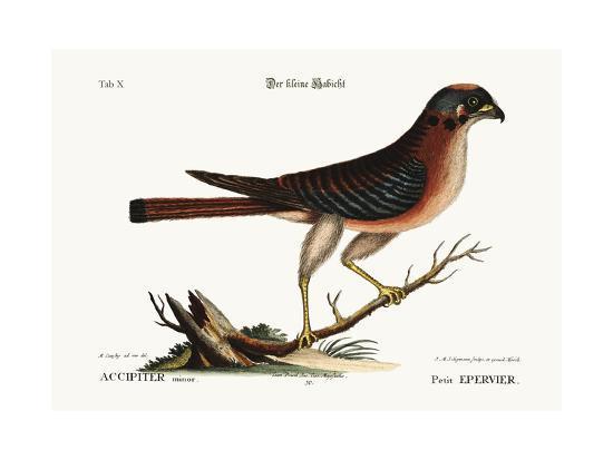 The Little Hawk, 1749-73-Mark Catesby-Giclee Print
