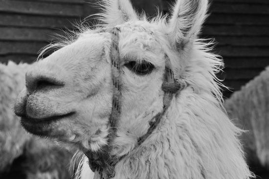 The Llama-meunierd-Photographic Print