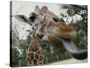 The Long Blue Tongue of a Giraffe Reaches out Toward the Camera