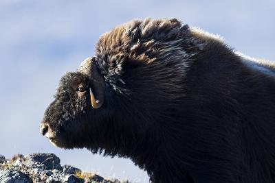 The Long Shaggy Mane and Pointed Horns of an Alert Musk Ox-Jason Edwards-Photographic Print