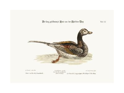 The Long-Tailed Duck from Hudson's Bay, 1749-73-George Edwards-Giclee Print