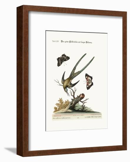 The Long-Tailed Green Hummingbird, 1749-73-George Edwards-Framed Giclee Print