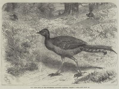 The Lyre Bird, in the Zoological Society's Gardens, Regent's Park-Friedrich Wilhelm Keyl-Giclee Print