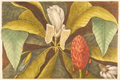 The Magnolia, Plate 68, Vol. 1 from the 'Natural History of Carolina, Florida and the Bahamas'-Mark Catesby-Giclee Print