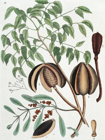 The Mahogany Tree (Arbor Folis Pinnatis)-Mark Catesby-Giclee Print