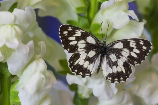 The Marbled White Butterfly, Melanargia Galathea from Europe-Darrell Gulin-Photographic Print