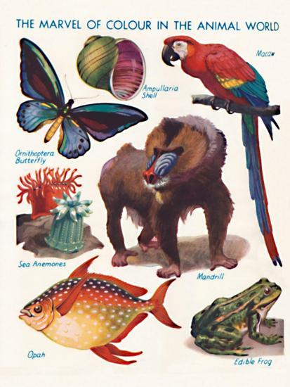 'The Marvel of Colour in the Animal World', 1935-Unknown-Giclee Print