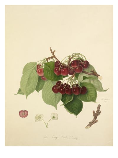 The May Duke Cherry-William Hooker-Giclee Print