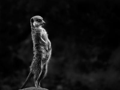 The Meerkat-Greetje Van Son-Photographic Print