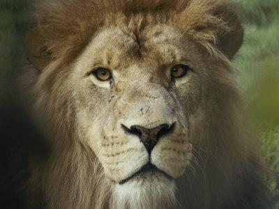 https://imgc.artprintimages.com/img/print/the-menacing-look-of-a-lion_u-l-p3lbzf0.jpg?p=0