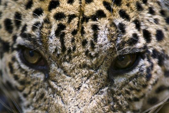 The Menacing Stare of a Jaguar, the Top Predator of the Amazon Rainforest-Jason Edwards-Photographic Print