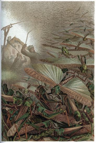 The Migratory Locust by Alfred Edmund Brehm-Stefano Bianchetti-Giclee Print
