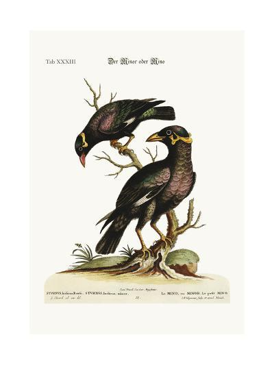 The Minor or Mino, Greater and Less, 1749-73-George Edwards-Giclee Print