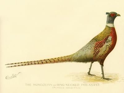 The Mongolian or Ring-Necked Pheasant--Giclee Print