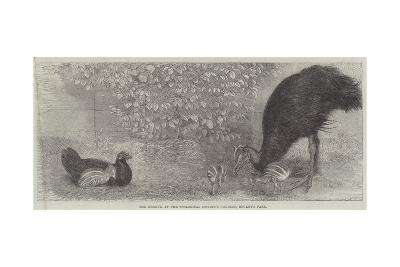 The Mooruk at the Zoological Society's Gardens, Regent's Park--Giclee Print