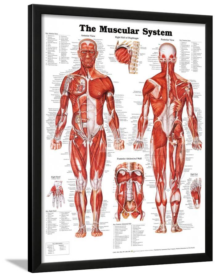 The Muscular System Anatomical Chart Poster Print Lamina Framed
