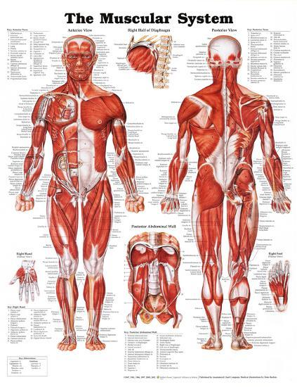 The Muscular System Anatomical Chart--Poster
