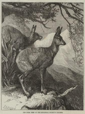 https://imgc.artprintimages.com/img/print/the-musk-deer-at-the-zoological-society-s-gardens_u-l-pul1qo0.jpg?p=0