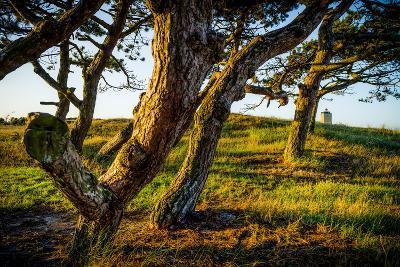 The Netherlands, Frisia, Terschelling, Dunes, Pine, Pinewood-Ingo Boelter-Photographic Print