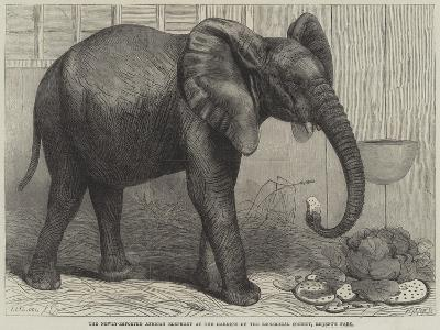 The Newly-Imported African Elephant at the Gardens of the Zoological Society, Regent's Park-Friedrich Wilhelm Keyl-Giclee Print
